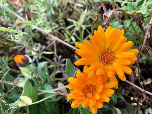 Naturalezadebarrio en Hamelin: Flora  (Naut Aran), Flor#Primavera#naturalezadebarrio#flora21#encadaventanaunaflor@naturalezadebarrio