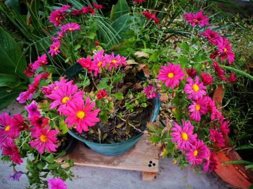 Navarroarevalomariateresa en Hamelin: Flora  (Viesca), Les comparto la pequeña maceta con crisantemos..está muy bonita alegra el jardín..la coloque dentro ...