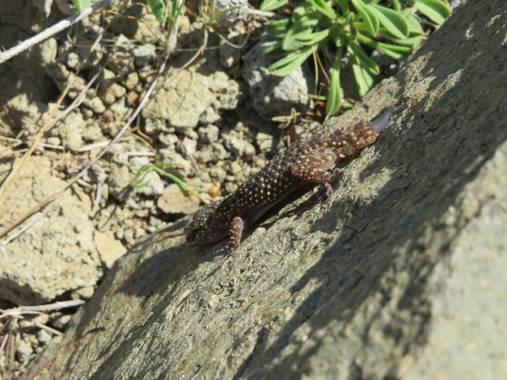 Solerantonio2 en Hamelin: Fauna  (Níjar), Una salamanquesa los escullos