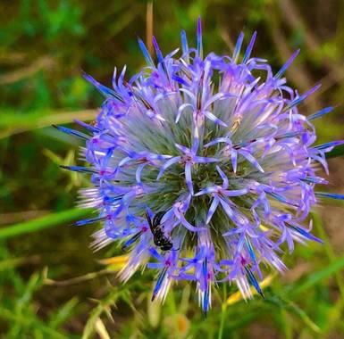Marcbg en Hamelin: Flora  (Alforja), #flora21 #flower #catalunya  #purple