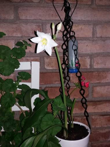 olgabijoux.ot en Hamelin: Flora  (Luján de Cuyo), Eucharis amazonica