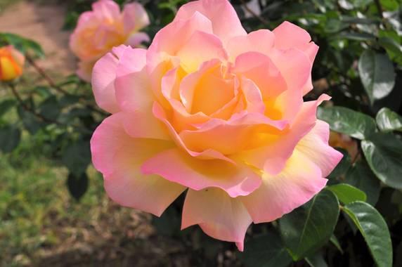 Manubarbecho en Hamelin: Flora  (Montoro), Rosa spp., #flora21