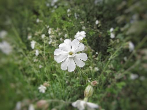 Mivilor68 en Hamelin: Flora  (Molinaseca), #flora21  #floresblancas