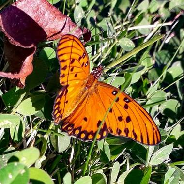 𝐕𝐄𝐑𝐎𝐍𝐈𝐂𝐀 en Hamelin: Flora, #Mariposa
