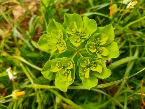 Jinliangarcia en Hamelin: Flora  (Castellet i la Gornal), Euphorbia helioscopia, #flora21 #verdevivo #maravillada  Nunca ví una foto tan verde.!!