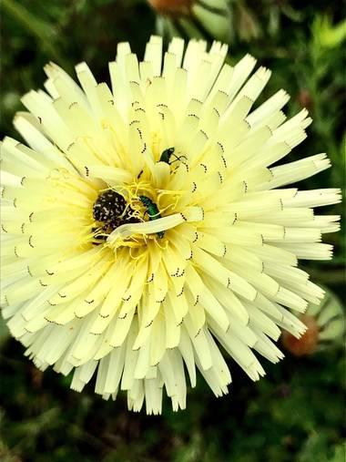 Marcbg en Hamelin: Flora  (Vinyols i els Arcs), Urospermum dalechampii, #flora21  #catalunya #flor #yellow #naturephotography