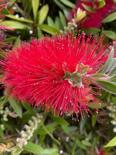 Zetadeuve en Hamelin: Flora  (San Cristóbal de La Laguna), Callistemon citrinus, #flora21  #tenerifelicidad