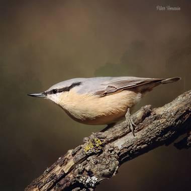 Yatoma66 en Hamelin: Fauna  (Moralzarzal), Sitta europaea Linnaeus, 1758, #aves21