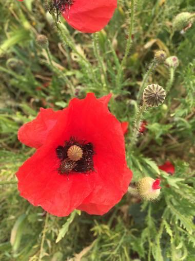 Marisol🍀 en Hamelin: Flora, Papaver rhoeas, #amapola