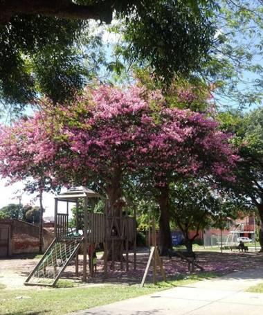 RAISUKI en Hamelin: Paisaje, La foto es de un parquecito de Santa Cruz - BOLIVIA y el árbol con las flores rosadas es el hermoso TOBOROCHI.