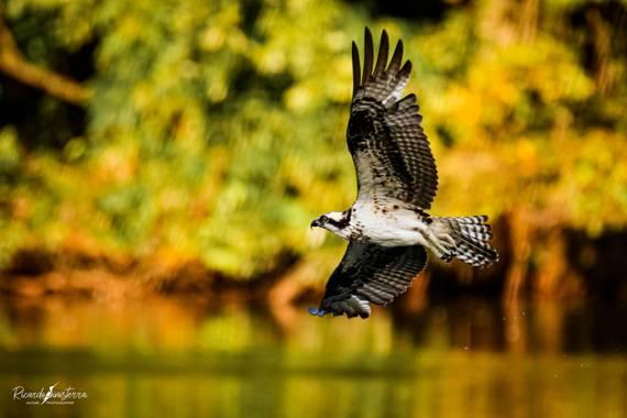 sinisterra2009 en Hamelin: Fauna  (Cali), Pandion haliaetus (Linnaeus, 1758), Águila Pescadora  (Pandion haliaetus) Colombia Valle del Cauca  #Aves21