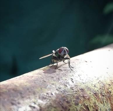 VickyOnTheRocks en Hamelin: Fauna  (Liria), #moscaverde #metalica #myfriends #insectos #moscas #mijardin #sweethome