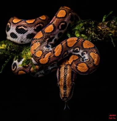 Pabloalbertopaez en Hamelin: Fauna  (Archidona), #Boaarcoiris
