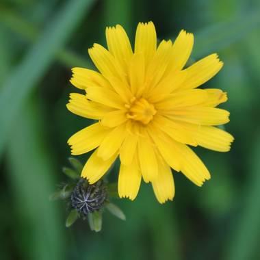 Ortizborras en Hamelin: Flora, #macrofoto20