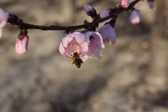 carogv1995 en Hamelin: Flora  (Campos del Río), #almendrosenflor #flora21 #avejamaya
