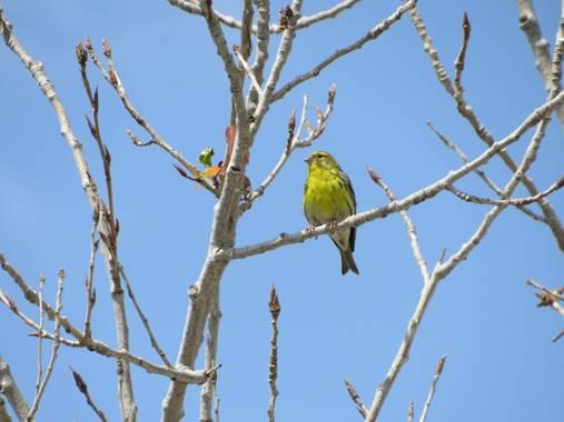 Solerantonio2 en Hamelin: Fauna  (Almería), Canario tranquilo parque andarax