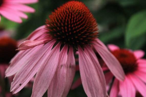 AndreaTorres en Hamelin: Flora  (Santiago de Compostela), Echinacea purpurea, #parquesyjardines