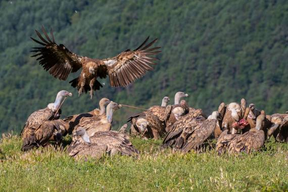 Foto Rubén  en Hamelin: Fauna  (Tella-Sin), Gyps fulvus fulvus, #aves21