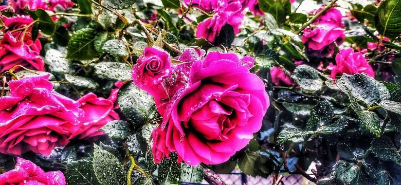 Sortueta en Hamelin: Flora  (Castro-Urdiales), Rosa gallica, La Vie en Rose ❤️🌹#flora21#