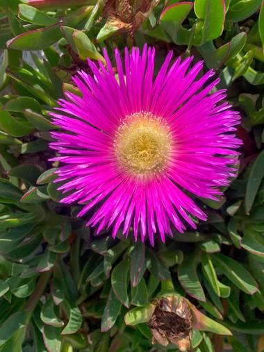 carogv1995 en Hamelin: Flora  (Campos del Río), Carpobrotus edulis, #flora21 #rosarosae #bellezanatural