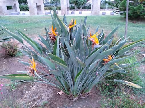Solerantonio2 en Hamelin: Flora  (Almería), Strelitzia reginae, Bonita planta en el parque