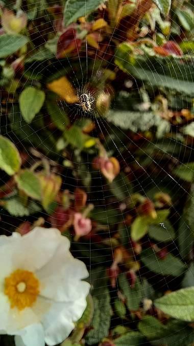 Corina en Hamelin: Fauna  (Vitoria), #araña#telaraña