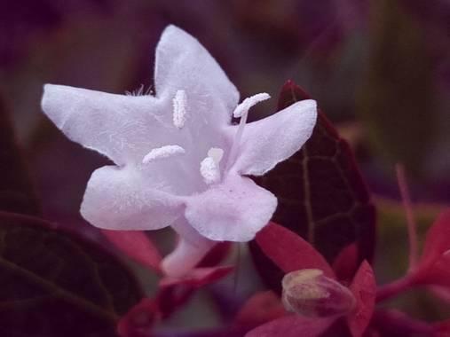 Jonathanmartinbedia0007 en Hamelin: Flora, Abelia x grandiflora, 📸@