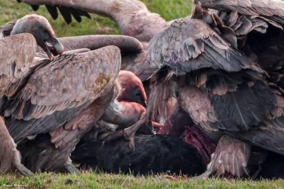 Unai Urresti en Hamelin: Fauna  (Trucios), Gyps fulvus (Hablizl, 1783), Buitres leonados comiendo.  #aves21 #buitreleonado  #fauna