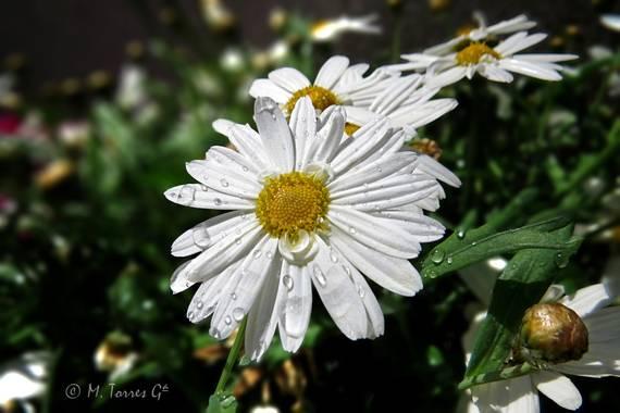 manuel.torres1 en Hamelin: Flora  (Esplugues de Llobregat), #flora21
