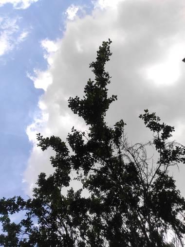 Zaynab en Hamelin: Flora  (Bogotá, D.C.), Ulmus thomasii, Entre nubes