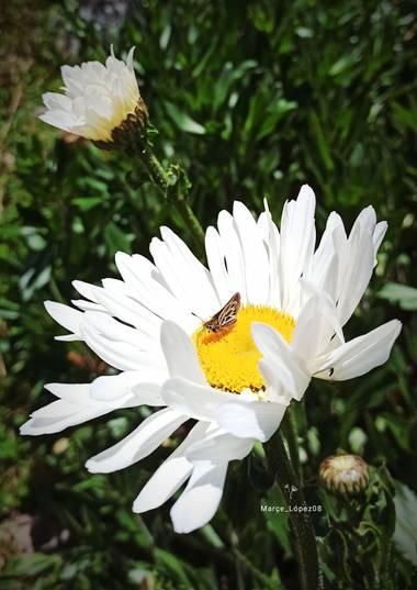 Marçe.Lateacher_López en Hamelin: Flora  (La Calera), #flora #flor #mariposa #margarita #hamelin #photooftheday
