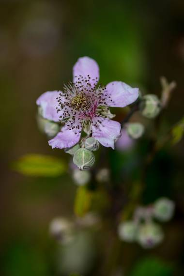 Ninigabi en Hamelin: Flora  (Ayamonte), Rubus ulmifolius, #flora#villablanca