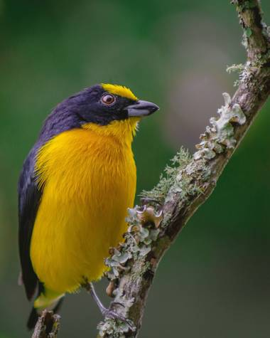 ogaviria.ph en Hamelin: Fauna  (Cali), Euphonia laniirostris d'Orbigny & Lafresnaye, 1837, La biodiversidad de mi país 🇨🇴 #hamelin #picoftheday #colombia...