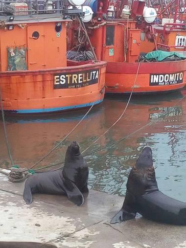 Rociokrivero en Hamelin: Fauna  (Mar del Plata), #lobosmarinos