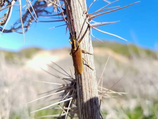 Miguelacuario36 en Hamelin: Fauna  (Roche), Agapanthia asphodeli Tiberghien, 2010, #Otoño20