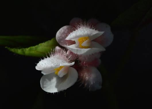ivanmanuel en Hamelin: Flora  (San Lorenzo), Flores de #begoniarex