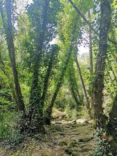 Lunamartin en Hamelin: Paisaje, Hiedra en pinos.