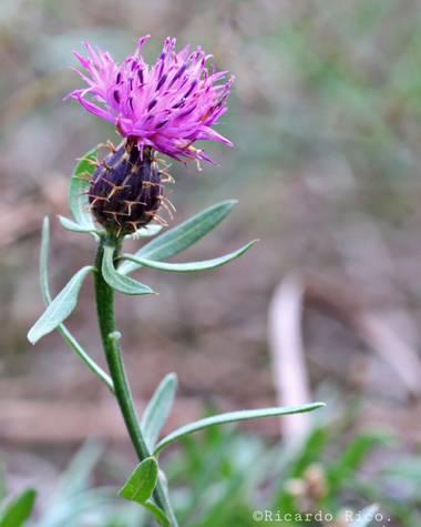 Rricoparrillas en Hamelin: Flora  (Tiana), Centaurea aspera, #flora2021
