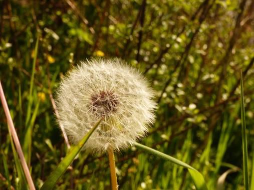 Gemmalajo en Hamelin: Flora  (Les Masies de Roda), Taraxacum campylodes, 🌼