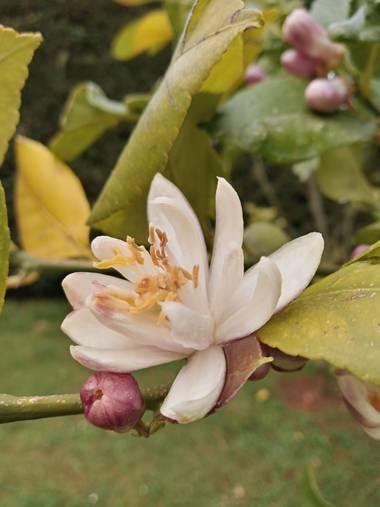 Alquimia Natural en Hamelin: Flora  (Camargo), Citrus limon, Belleza 😍💕☀️  #flora21