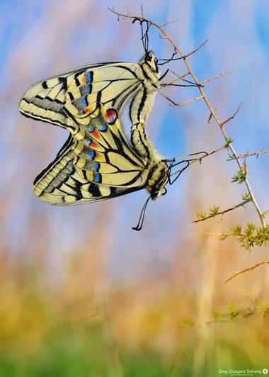Gregsobieraj en Hamelin: Fauna  (Alcanar), Papilio machaon Linnaeus, 1758, Papilio machaon ( Montsià ) #mariposa #insecto #macro