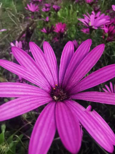 Dinuflorenta006 en Hamelin: Flora  (Calp), Osteospermum ecklonis, #flora21 #nofilter #maravilloso #calpe
