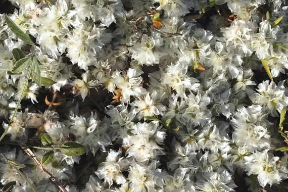 Ruth Díaz en Hamelin: Flora  (Tavernes de la Valldigna), Paronychia capitata, #Flora21