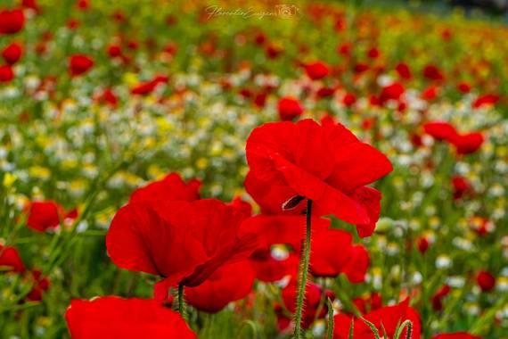 Florentinoeugenio en Hamelin: Flora  (Mejorada del Campo), Papaver rhoeas, #amapolasilvestre