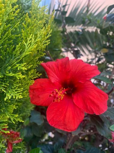 carogv1995 en Hamelin: Flora  (Molina de Segura), Hibiscus rosa-sinensis, #Flor #rojoescarlata #rojointenso #murciaquehermosaeres #flora21