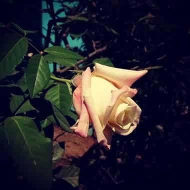 magali.massafra en Hamelin: Flora, Rosa chinensis, Flor de una rosa...
