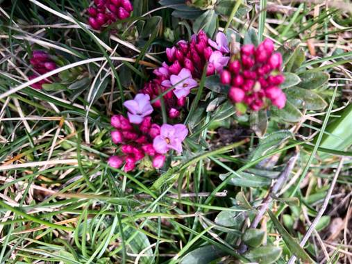Naturalezadebarrio en Hamelin: Flora  (Naut Aran), Daphne cneorum, Flor de Pirineo#flora21#naturalezadebarrio#encadaventanaunaflor@naturalezadebarrio
