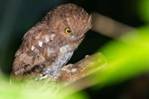 jhonathanmiranda1 en Hamelin: Fauna  (Bejuma), Cazador nocturno  #aves21 #avesdevenezuela #birdsofvenezuela