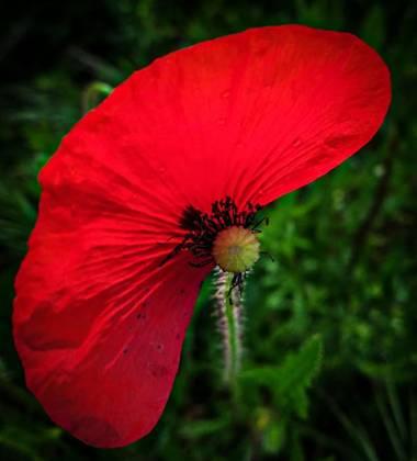 Mistela17 en Hamelin: Flora  (Fuentes de Valdepero), Papaver rhoeas, #flora21