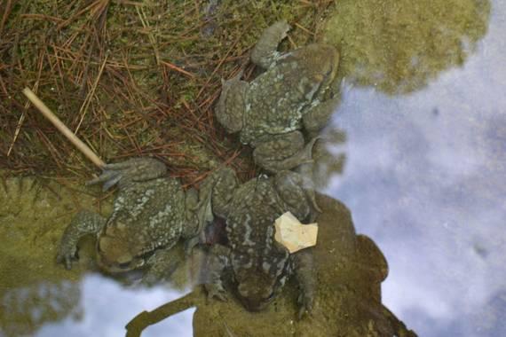 Solerantonio2 en Hamelin: Fauna  (Láujar de Andarax), Sapos en una balsa